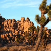 Joshua Tree by Romain Desgranges