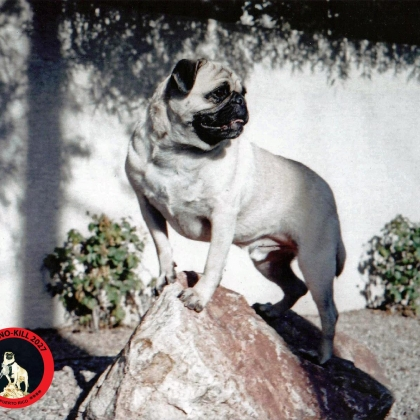 Training Rock, Phoenix by Vinny the Pug